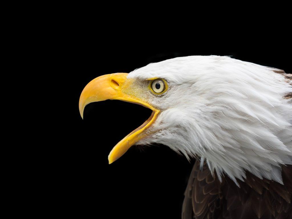 Bald Eagle 2715461 1280